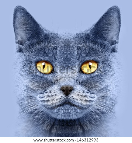 Closeup of a british short hair cat #146312993