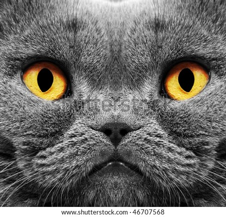 Closeup of a british short hair cat