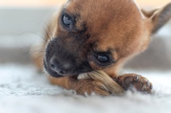 Closeup of a brown chihuahua chewing a natural deer antler. Selective focus on paw and antler.