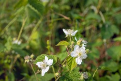 Closeup of a budding and white flowering wild blackberry or Rubus fruticosus plant in a Dutch nature reserve. It is a sunny day in the summer season.