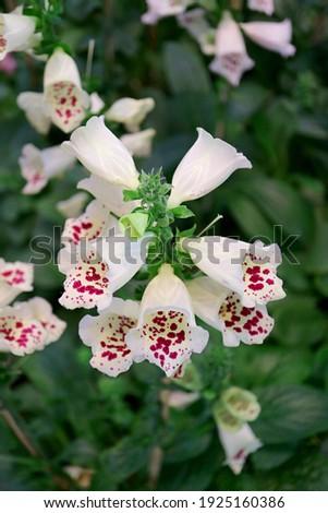 Closeup of a Bunch of Beautiful Digitalis Purpurea or Common Foxglove Flowers Stock fotó ©