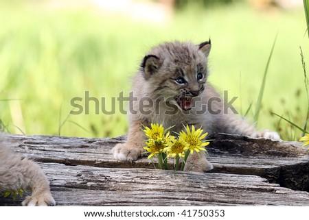 Canadian Lynx Kitten. of a Canadian Lynx Kitten