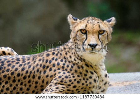 Closeup of a cheetah in front of a dark background
