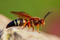 Closeup of a Cicada Killer Wasp sitting on a rock in a garden on a sunny summer afternoon near Lake Harriet in Minneapolis, Minnesota