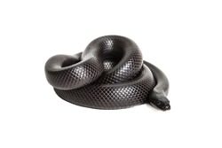 Closeup of a coiled Mexican black kingsnake isolated on a white background.