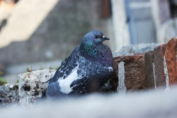 Closeup of a colorful city pidgeon sitting between historic red brick walls in the city of Sirmione, Lake Garda, Italy, selective focus on the bird, background and foreground blurry