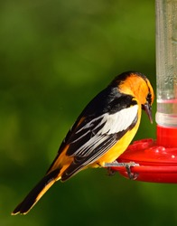 closeup of a colorful male bullock's oriole feeding at a red hummingbird feeder in summer in broomfield, colorado