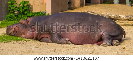 closeup of a common hippo sleeping, semi aquatic mammal from Africa, Vulnerable tropical animal specie #1413621137