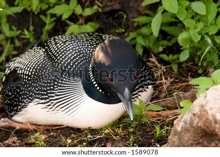 common loon drawing. makeup wallpaper common loon