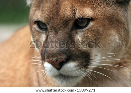 Closeup of a Cougar.
