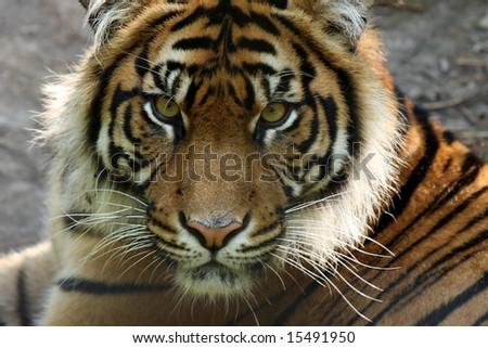 Closeup of a critically endangered  Sumatran Tiger.