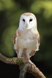 Closeup of a curious Barn Owl.