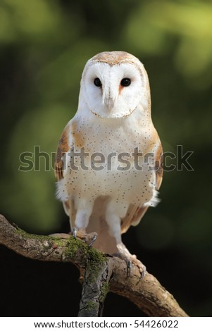 Closeup of a curious Barn Owl.