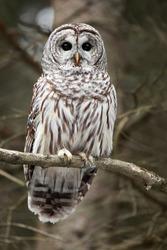 Closeup of a curious Barred Owl.