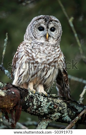 Closeup of a curious Barred Owl in Ontario, Canada.