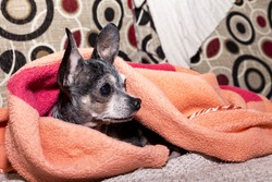 Closeup of a  curious cute chihuahua dog under the blanket at home