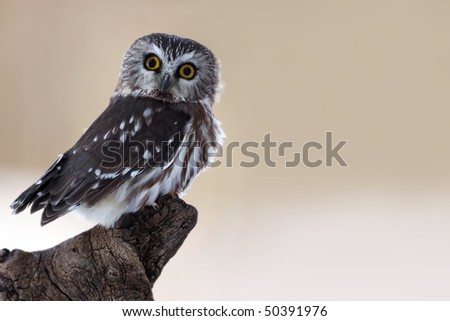 Closeup of a curious Saw-Whet Owl against a blurred background.