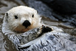 Closeup of a cute arctic sea otter relaxing in the water