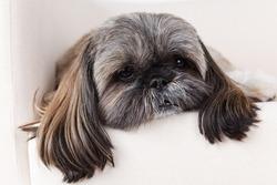 Closeup of a cute shih-tzu dog