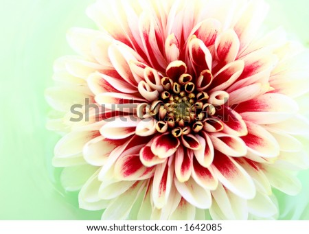 Closeup of a Dahlia Flower