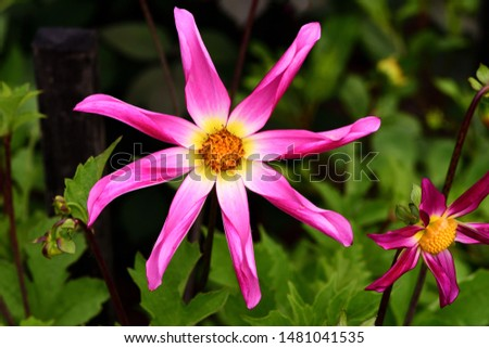 Closeup of a Dahlia Honka Roze bloom. #1481041535
