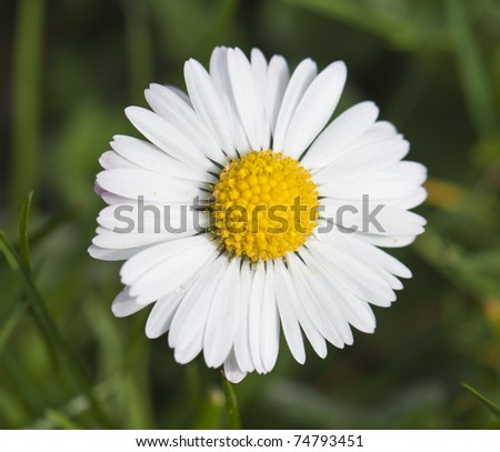 closeup of a daisy in spring time amongst the grass