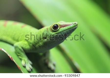closeup of a day gecko