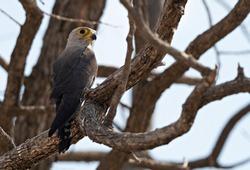 Closeup of a Dickinson's Kestrel perched on a tree, Botswana
