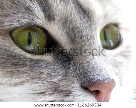 Closeup of a domestic cat with beautiful green eyes.