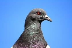 closeup of a dove