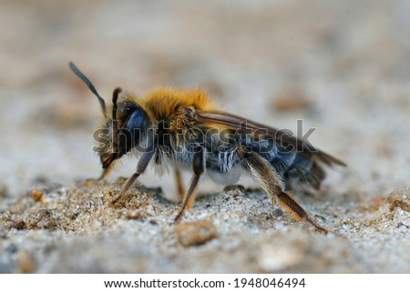 Closeup of a female a not so commonly found bee ,  the mellow miner , Andrena mitis Foto stock ©