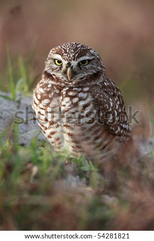 Closeup of a female Burrowing Owl at the entrance to her burrow.