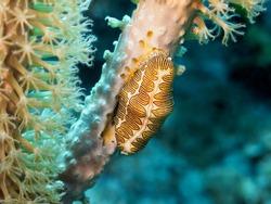 Closeup of a fingerprint cyphoma (Cyphoma gibbosum) feeding on a slit-pore sea rod (Plexaurella spp.), Cayman Islands, Caribbean Sea