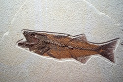 closeup of a fossilized petrified fish dinosaur fossil remains in stone with details of the skeleton with skull and bones
