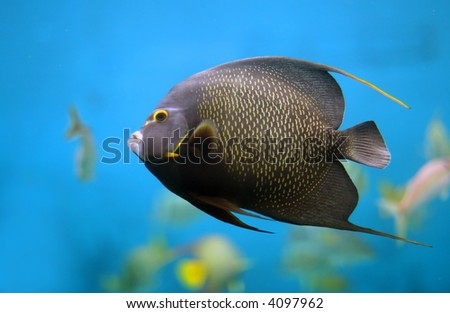 Closeup of a French Angelfish (Pomacanthus paru)