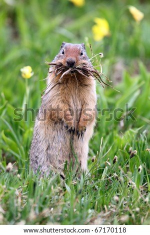 Closeup of a funny Columbian Ground Squirrel hoarding food for the long winter in Glacier National Park, Montana.