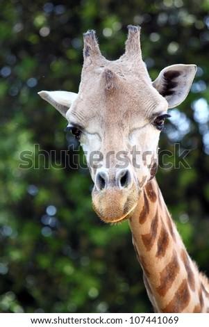 Closeup of a giraffe (Giraffa camelopardalis)