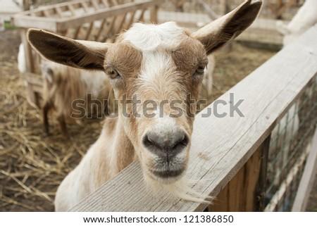 closeup of a goat near a fence