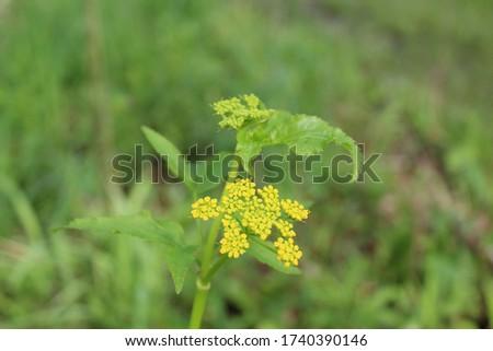 Closeup of a golden Alexanders wildflowers at Harms Woods in Skokie, Illinois Zdjęcia stock ©