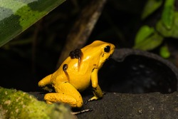 Closeup of a golden poison frog carrying tadpoles