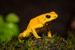 Closeup of a golden poison frog on a log
