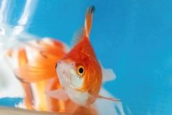 Closeup of a goldfish in a plastic bag.