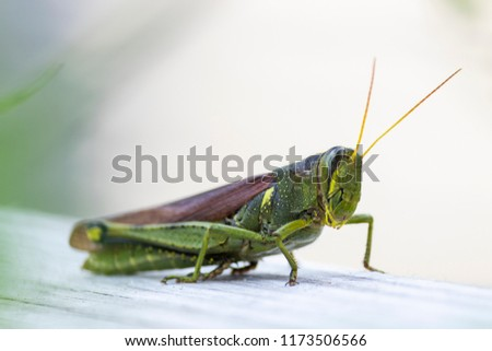Closeup of a Grasshopper Insect Selective Focus #1173506566