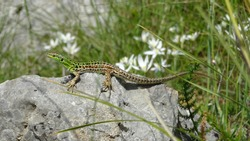 Closeup of a green-brown lizard on a small rock in Italy