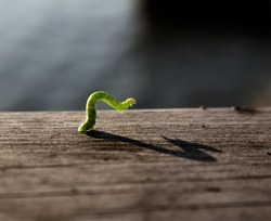 Closeup of a green geometer moth caterpillar on a wooden railing, also known as an inch worm