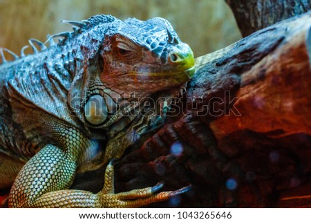 closeup of a green iguana...