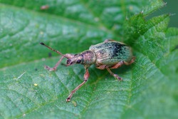 Closeup of a green immigrant leaf weevil, Polydrusus formosus , on a green leaf