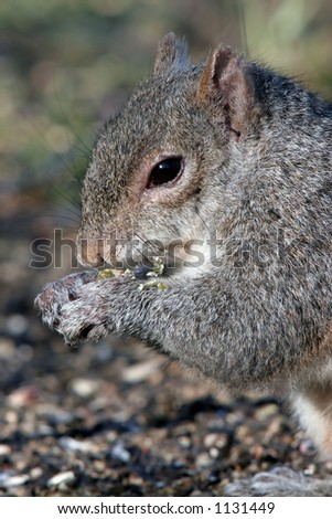 Closeup of a Grey Squirrel Eating Sunflower Seeds.
