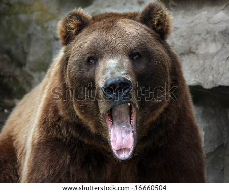 Closeup of a Grizzly Bear with his mouth open and staring at the camera.