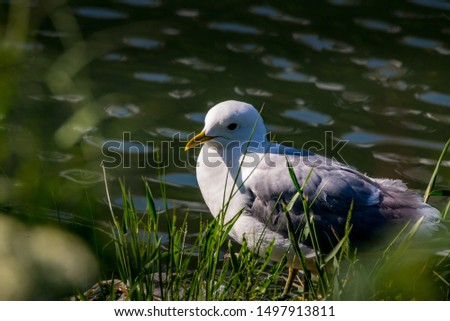 Closeup of a gull resting on the banks of a lake